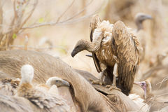 Cape vulture eating a dead buffalo in Kruger National park. Specie Gyps coprotheres family of Accipitridae, Cape vulture eating a dead buffalo in Kruger National Royalty Free Stock Photo