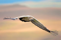 Cape vulture in flight Stock Photo