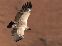 Cape Vulture gliding by with wings fully extended Royalty Free Stock Image