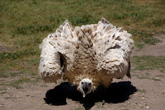 Cape Vulture or Griffon Royalty Free Stock Images