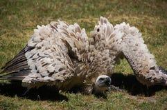 Cape Vulture or griffon Stock Image