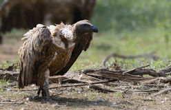 Cape Vulture Royalty Free Stock Photos