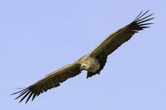 Vulture flying in a blue sky Royalty Free Stock Image