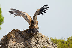 Cape vulture (Gyps Coprotheres) Royalty Free Stock Photos