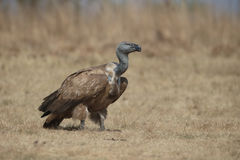 Cape vulture, Gyps coprotheres Stock Photography
