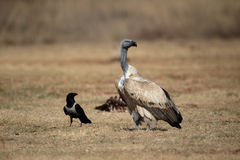 Cape vulture, Gyps coprotheres Stock Images