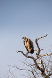 Cape Vulture Gyps coprotheres Sitting on a Dead Tree, South Africa. Kruger Park Stock Photography