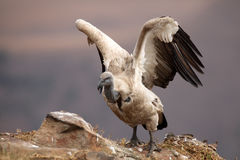 Cape vulture. Gyps coprotheres with spread wings sitting on the rock royalty free stock image