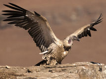 Cape Vulture having just landed on rock ledge with wings still fully extended Royalty Free Stock Photos