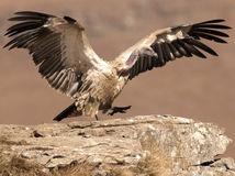 Cape Vulture having just landed taking a step with wings still fully extended. The adult South African Jackal Buzzard is strikingly plumaged. It is almost black Stock Images