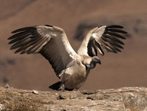 Cape Vulture just landed with wings outstreched and busy taking a step forward. The adult South African Jackal Buzzard is strikingly plumaged. It is almost black Stock Images