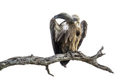 Cape vulture in Kruger National park, South Africa Stock Photo