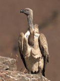 Cape Vulture perched on a rock in portrait Royalty Free Stock Photos