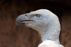 Cape vulture portrait. Portrait of an endangered Cape vulture (Gyps coprotheres), South Africa Royalty Free Stock Photography