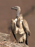 Cape Vulture in portrait perched on a rock Stock Photo
