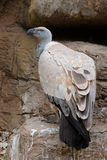 Cape vulture on rock ledge Royalty Free Stock Photography