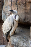 Cape Vulture Royalty Free Stock Photography