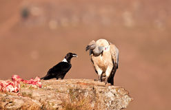 Cape Vulture and white necked raven Royalty Free Stock Photos