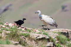 Cape Vulture and white necked raven sitting on mountain Stock Photography