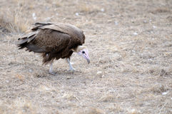 Cape Vultures Stock Photography