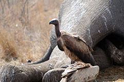 Cape Vultures Stock Photos