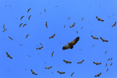 Cape vultures circling Stock Photos