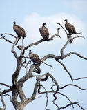 Cape vultures in dead tree Stock Photos