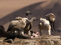 Cape Vultures fighting over some bones on a rock ledge Royalty Free Stock Photo
