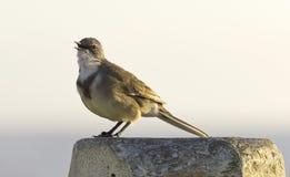 Cape Wagtail bird Stock Photo