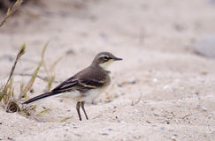 Cape Wagtail on the dunes Royalty Free Stock Photography