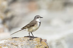 Cape Wagtail Royalty Free Stock Photo