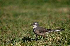 Cape Wagtail (Motacilla copensis) Royalty Free Stock Photo