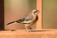 Cape wagtail perched on wall beside railing Stock Images