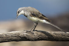 Cape wagtail sitting on a branch in soft light looking for food Stock Photography