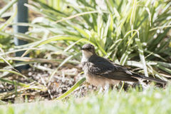 Cape Wagtail (Motacilla capensis) in South Africa Stock Photography