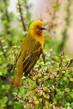 Cape Weaver Royalty Free Stock Photo