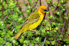 Cape Weaver Stock Photo