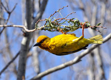 Cape weaver. Ploceus capensis, a resident breeding bird species endemic to South Africa building a nest Royalty Free Stock Photography