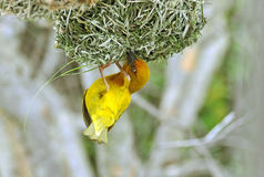 Cape weaver. Ploceus capensis, a resident breeding bird species endemic to South Africa building a nest Royalty Free Stock Image