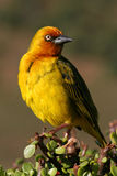 Cape Weaver. In the Addo morning sun Stock Photo