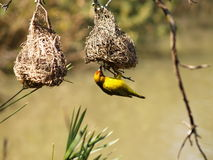 Cape Weaver Stock Images