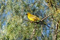 Cape weaver Bird Stock Photos