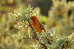Cape weaver bird Stock Images