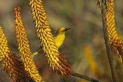 Cape weaver bird on Aloe ferox Stock Photography