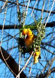 Cape Weaver Bird Royalty Free Stock Images