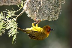 Cape Weaver Bird and Nest. Male Cape weaver bird hanging from it's nest to attract a mate Royalty Free Stock Image