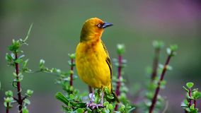 Cape Weaver Bird