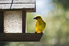 Cape weaver bird Stock Image