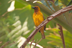 Cape Weaver Royalty Free Stock Photos