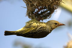 Cape weaver hanging on nest. Cape weaver builds its nest Royalty Free Stock Image